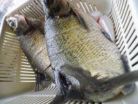 四川豆瓣鱼的做法步骤1