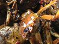 焖锅香辣蟹